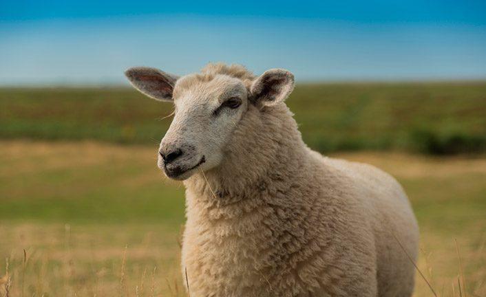 Hombre follando con una oveja - Videos de zoofilia