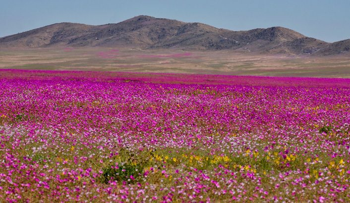 Пустыня, которая расцвела