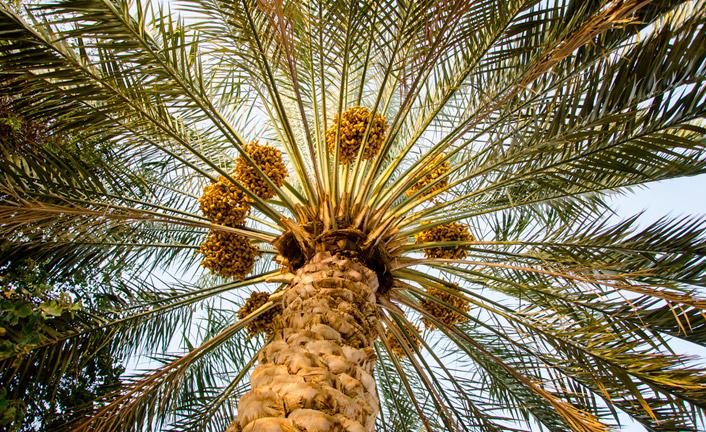 Как пальма