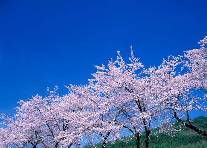 Blossoming Cherry trees under a clear blue sky